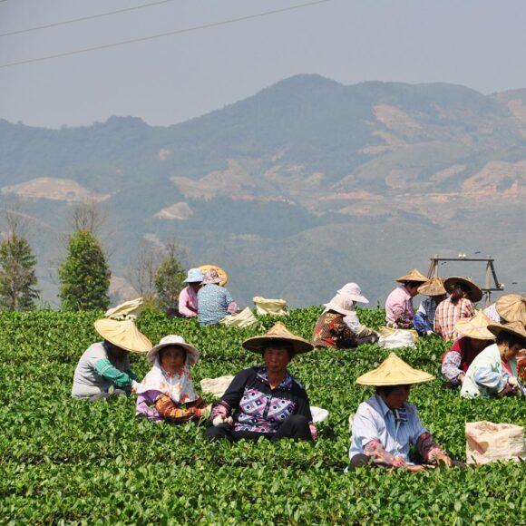 Récolte du thé - Fujian