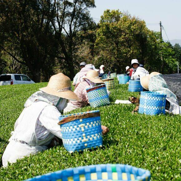 Récolte gyokuro - Kagoshima